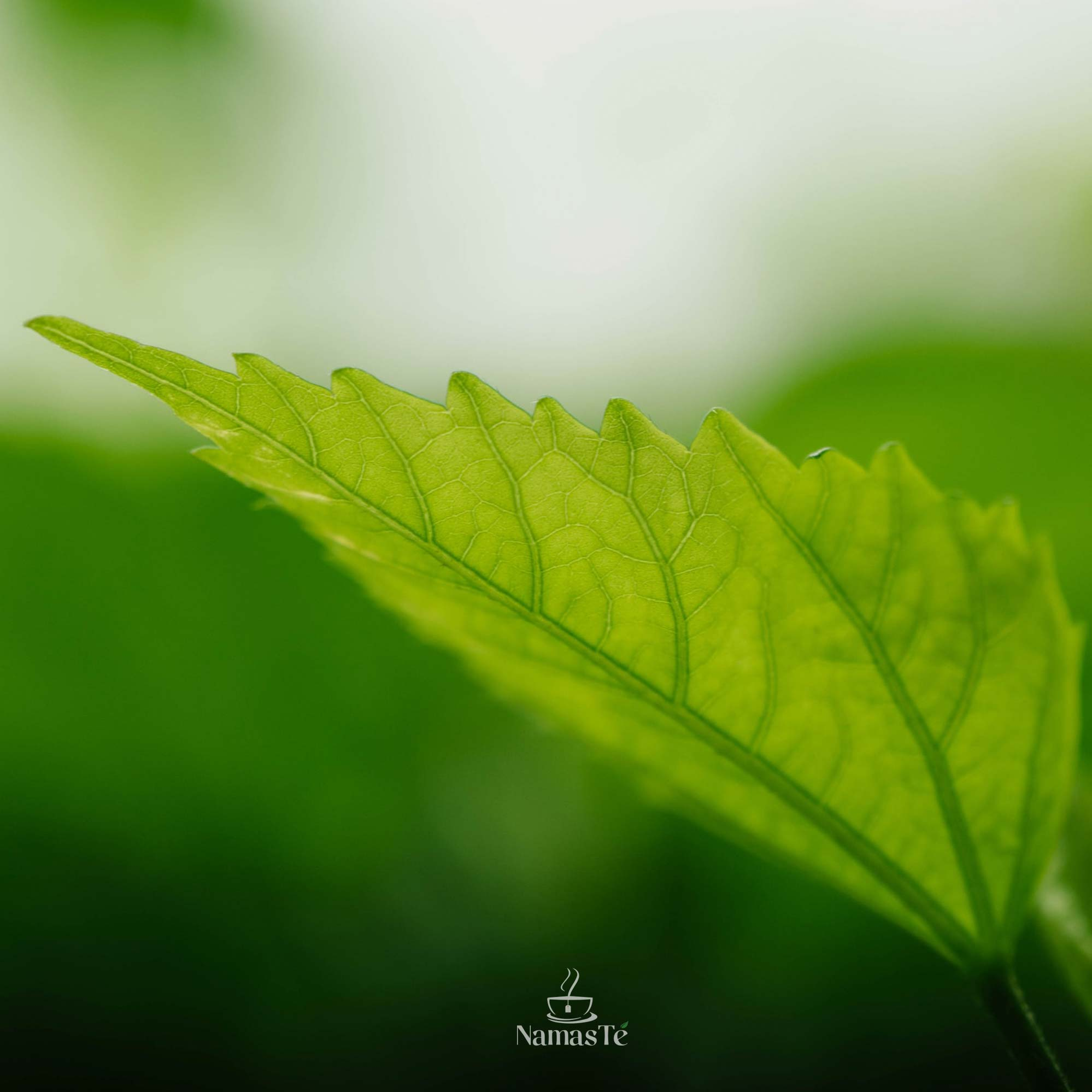 Hoja Té verde planta NamasTé